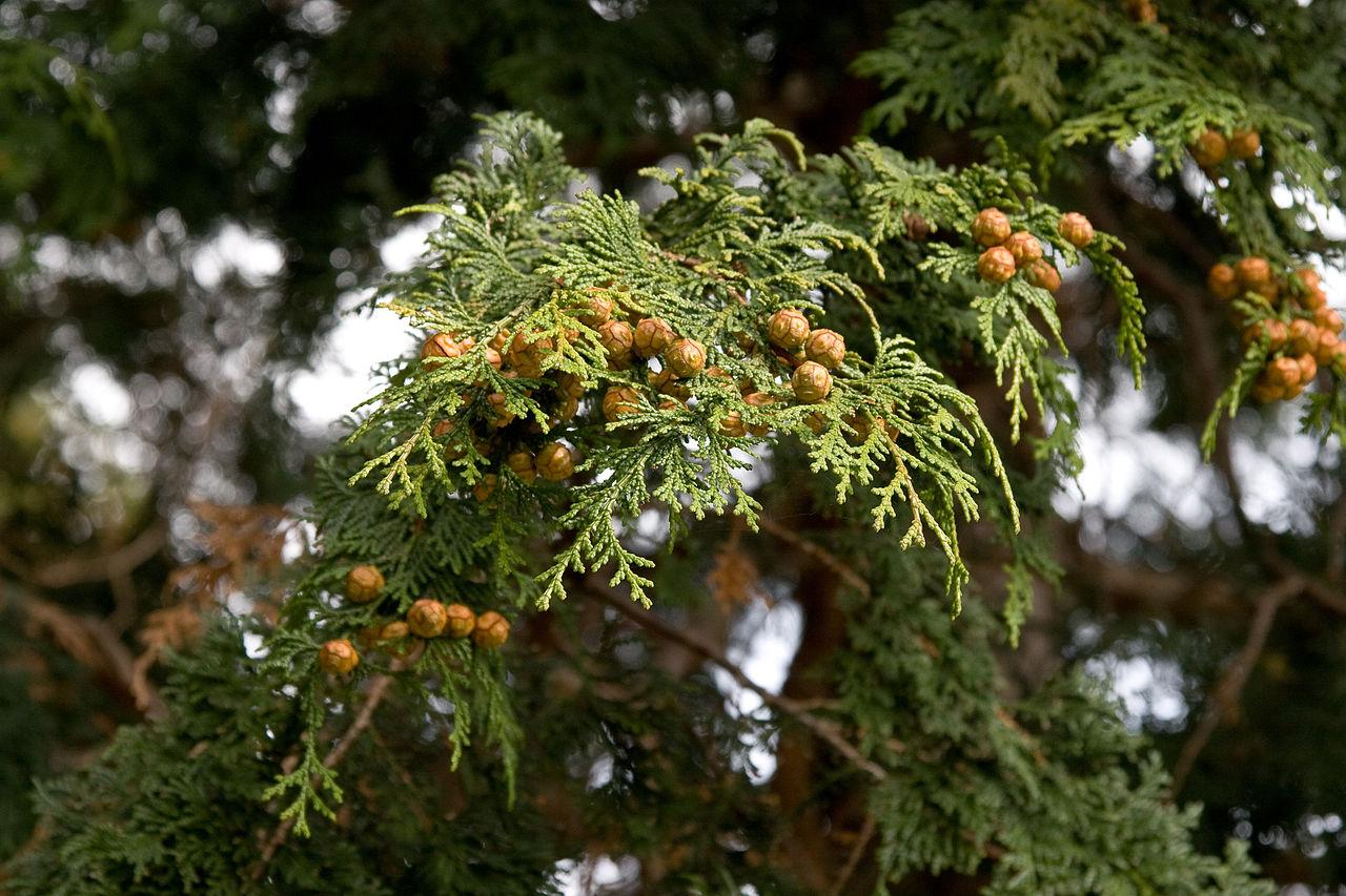 히노끼잎과-열매.jpg